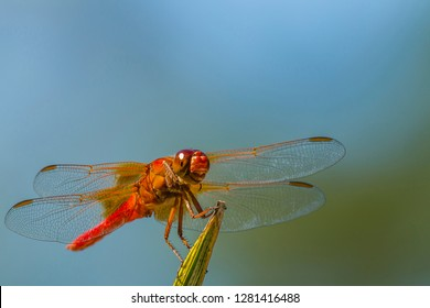 Flame Skimmer Dragonfly Drying its Wings on a Daytime Perch