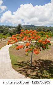 Flame Tree in the American Memorial Park, Saipan