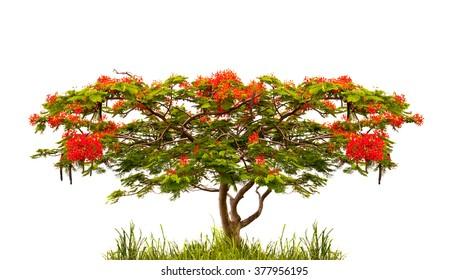 Flame tree of Flamboyant (delonix regia) isolated on white background