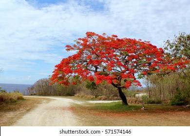 A flame tree in full bloom in Saipan, Northern Mariana Islands