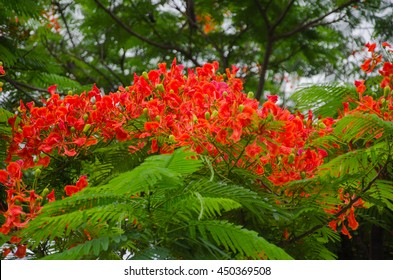 Flame Tree red colour with green leaf.