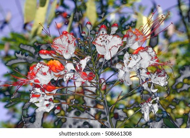 Flame tree with red flowers Royal Poinciana, Surrealistic photo of plant, spring season, background, flowers, flower, nature, floral, garden, summer, beautiful, landscape, pink, blossom, white, tree,