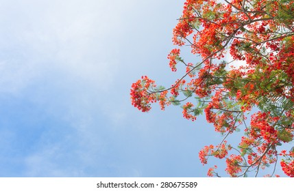 Flame Tree or Royal Poinciana Tree on Blue Sky