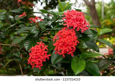 Flame of the woods (ixora coccinea), red, three clusters of flowers - Davie, Florida, USA