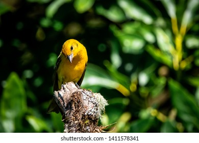 flame-colored tanager immature male (Piranga bidentata) or stripe-backed tanager. At San Gerardo de Dota, los quetzales national park, Costa Rica.