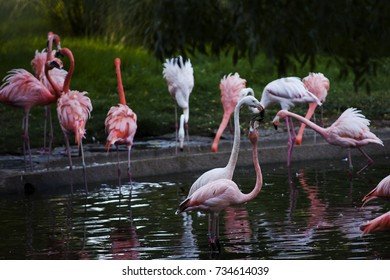 Flamencos (Phoenicopterus) swims in the lake in the zoo