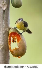 Flame-rumped Tanager (Ramphocelus flammigerus icteronotus), Lemon-rumped subspecies, female eating a papaya.