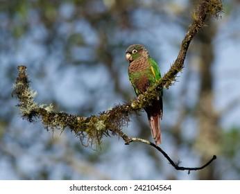 Flame-winged Parakeet, Pyrrhura calliptera