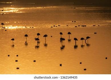 Flamigo silhouette during sunrise