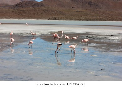 flamigos, wild life in the Bolivian highlands