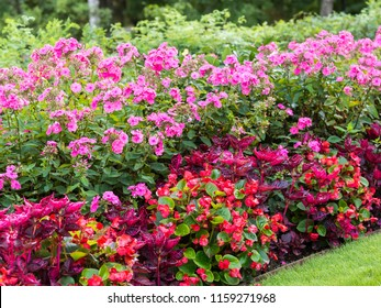 Flaming flowerbed in the autumn, pink garden phlox (Phlox paniculata) and bright red wax begonias (Begonia semperflorens).