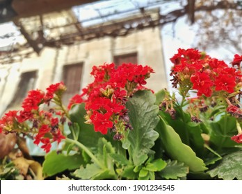 Flaming katy: a species of Widow's-thrill, also known as Florist kalanchoe, Madagascar widow's-thrill, it's botanical name is Kalanchoe blossfeldiana.