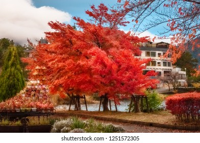 Flaming red tree in autumn at Fujikawaguchiko resort town, on the side of Lake Kawaguchi, one of the scenic five lakes - in the neighbourhood of Mount Fuji, Japan.