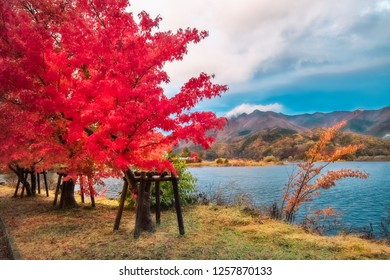 Flaming red tree in autumn at Fujikawaguchiko resort town, on the side of Lake Kawaguchi, one of the scenic five lakes close to Mount Fuji, Japan.