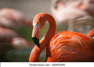 Flamingo Awesome flamingo outdoor shot. Flamingo is typical species for many countries, it lives in Camargue, Chile, Cuba, Mexico. Flamingo could be found also in Zoo. Animal shot capturing flamingo.