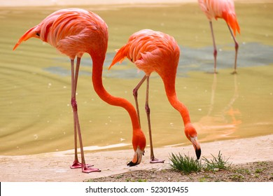 Flamingo Awesome flamingo outdoor shot. Flamingo is typical species for many countries, it lives in Camargue, Chile, Cuba, Mexico. Flamingo could be found also in Zoo Animal shot capturing flamingo.