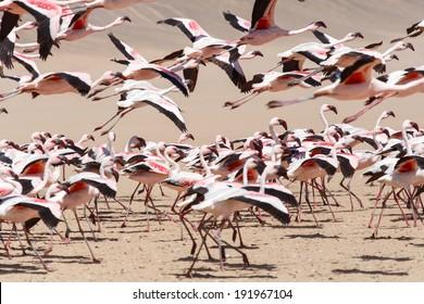 Flamingo Bird in Flight at Walvis Bay / Swakopmund, Nambia, Africa