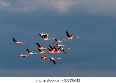 Flamingo birds crossing the sky from side to side. The birds fly in formation. Their wings are black pink and white. The guild the air on their migration to Africa or Europe.