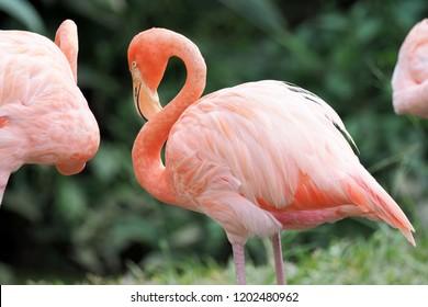 Flamingo birds in zoo