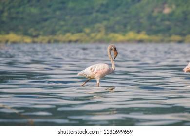 Flamingo in blue water in  lake bogoria kenya