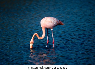Flamingo dipping its head in the water in the Galapagos Islands