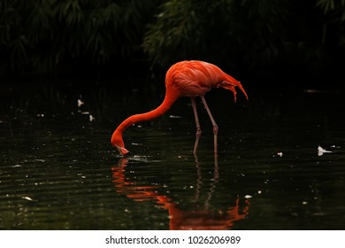 flamingo is drinking at lthe lake, very contrast and dark picture