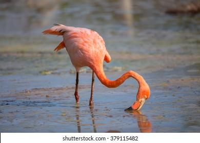Flamingo feeding in a small lagoon in Galapagos