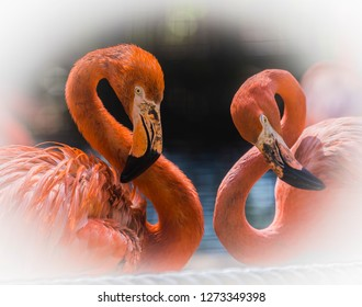 Flamingo, Flamingoes or Flamingos are a type of wading bird in the family Phoenicopteridae. Flamingos usually stand on one leg while the other is tucked beneath their bodies.