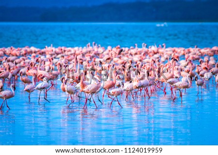 Flamingo. Flamingo Flock. Africa. Kenya. African flamingos. Lake Nakuru.