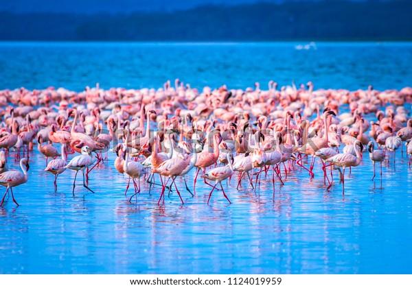 Flamingo. Flamingo Flock.Afrika.Kenia. afrikanische Flamingos. Nakuru-See.