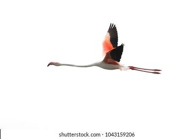 Flamingo flying  isolated on white background