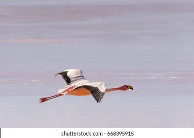 Flamingo flying over lake, wildlife, Altiplano, Bolivia, South America