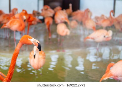 Flamingo in the foreground with a group of flamingos in the background