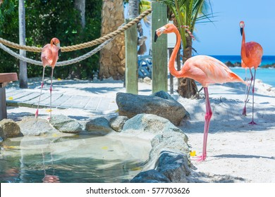 Flamingo and Iguana on the beach. Aruba private island