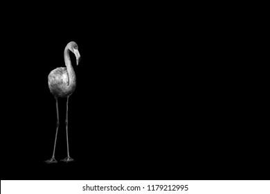 flamingo isolated on black background