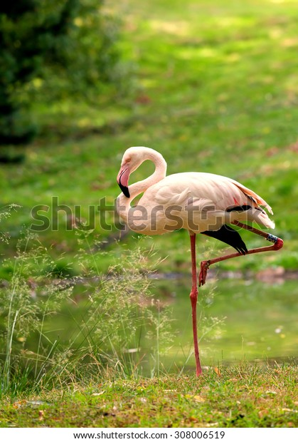 Flamingo in nature