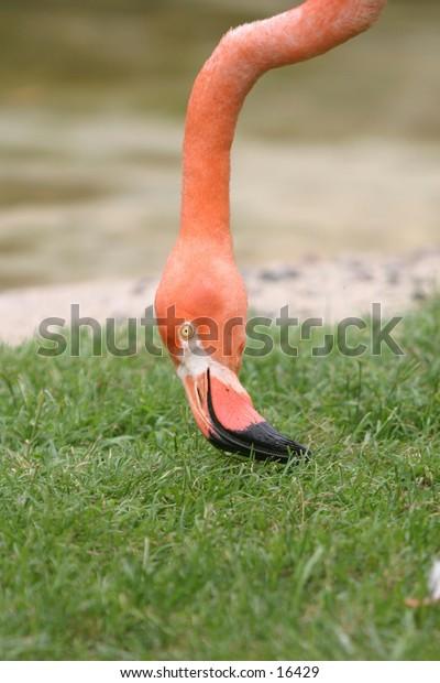 Flamingo neck/head