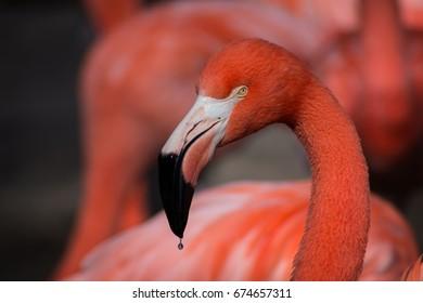 Flamingo, Oklahoma City Zoo