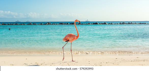 Flamingo on the Aruba beach. Flamingo beach
