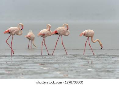 Flamingo (Phoenicopterus roseus) - Family Group