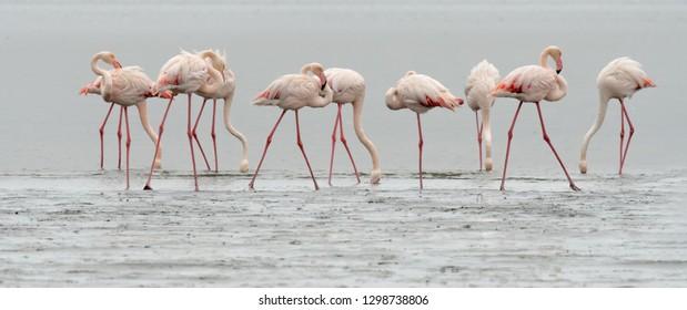 Flamingo (Phoenicopterus roseus) - Fishing Group