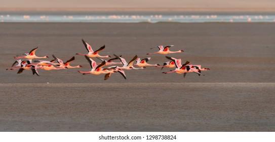 Flamingo (Phoenicopterus roseus) -  Low Level Flight