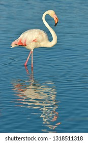 Flamingo (Phoenicopterus ruber) walking in water with big reflection seen from profile, in the Camargue is a natural region located south of Arles, France