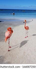 flamingo pink aruba caribbean animals island caribbean