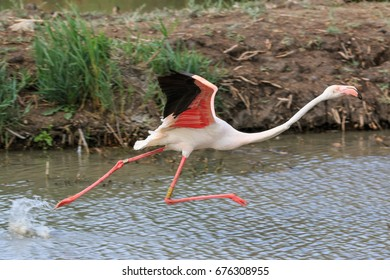 Flamingo running in the Camargue national park, France