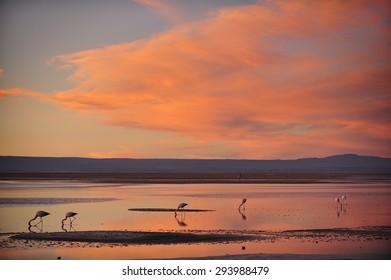 Flamingo at salt lake with sunset in Atacama Desert, Chile