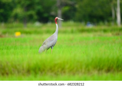 Flamingo or Sarus crane in Thailand, wildlife reserve is legal. Looking for food in the field - Shutterstock ID 682328212