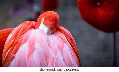 A flamingo sleeping and keeping warm with its beak in the feathers.