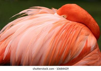 flamingo sleeping looking tropical bird feather pink orange
