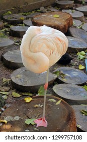 flamingo standing on one leg. Close up of flamingo relaxing in a wildlife sanctuary. They have a special characteristic of standing on one leg to keep energy.